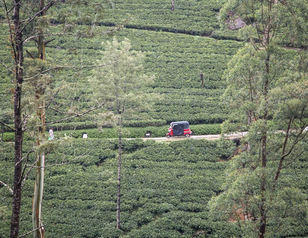 Best things to do in Nuwara Eliya when it rains - Damro Tea Plantation
