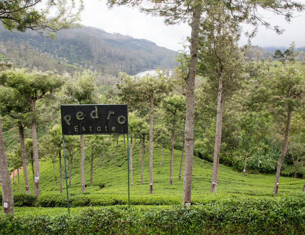 Places to visit in Nuwara Eliya - Pedros tea plantation