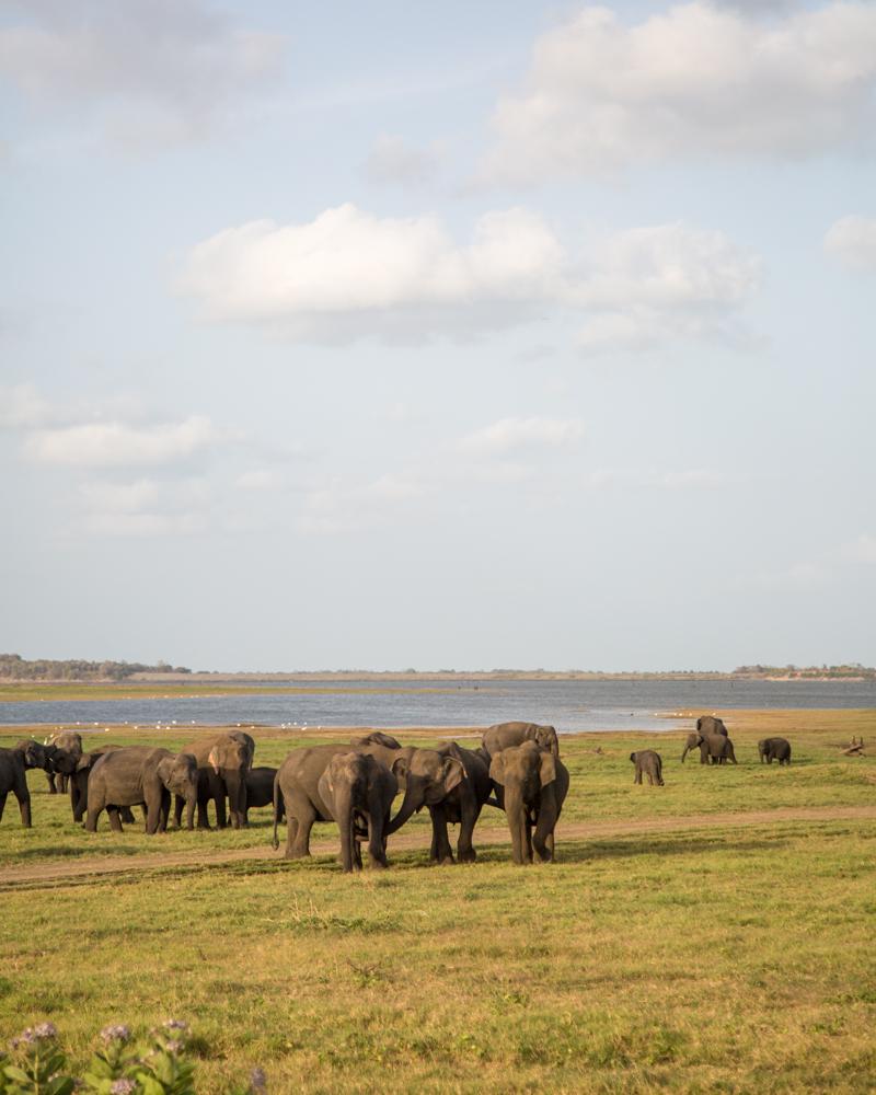 Kaudulla National Park Safari - Elephant Gathering