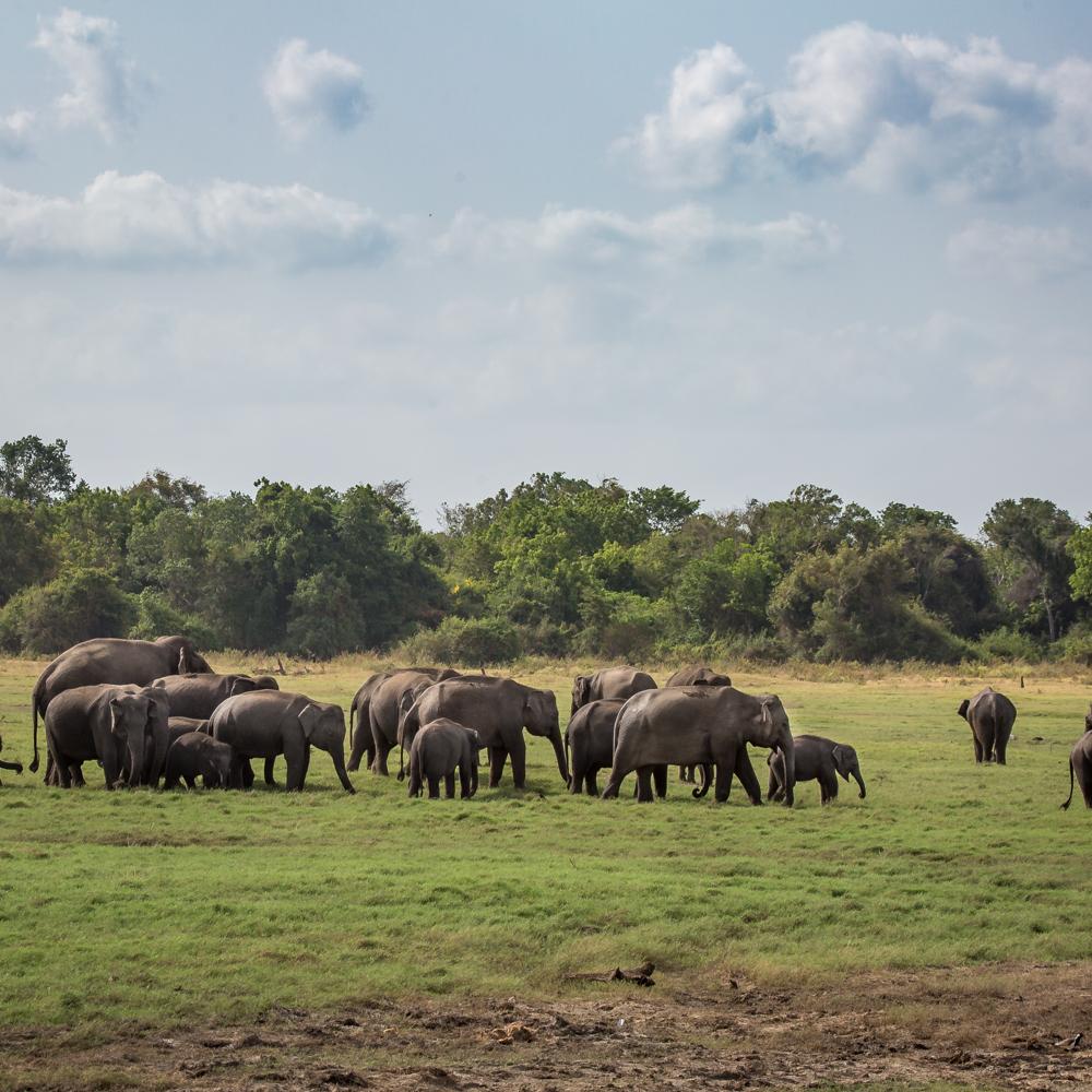 Elephant gathering at Kaudulla