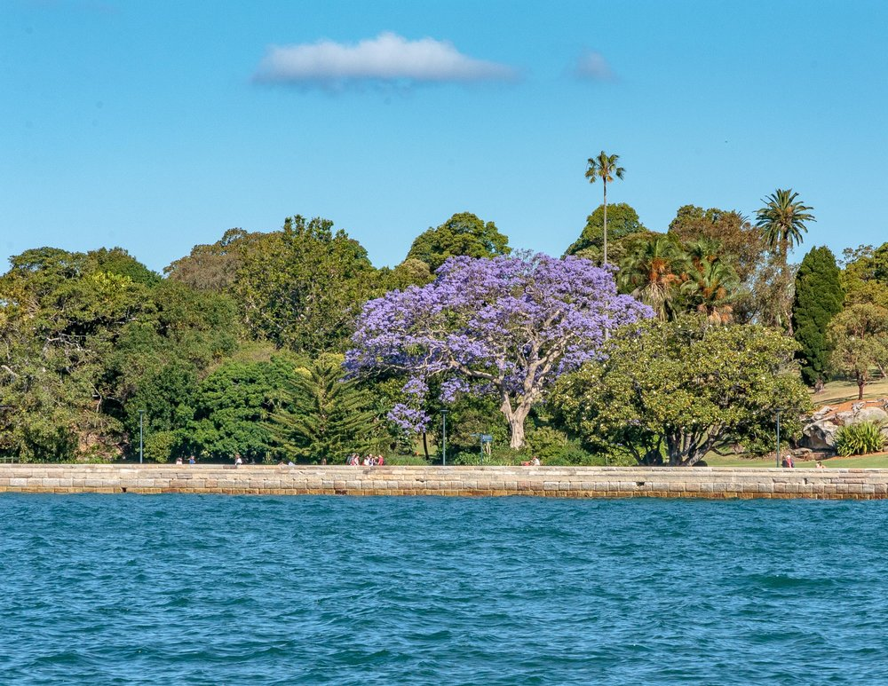 Best time to visit Sydney: Jacaranda Bloom