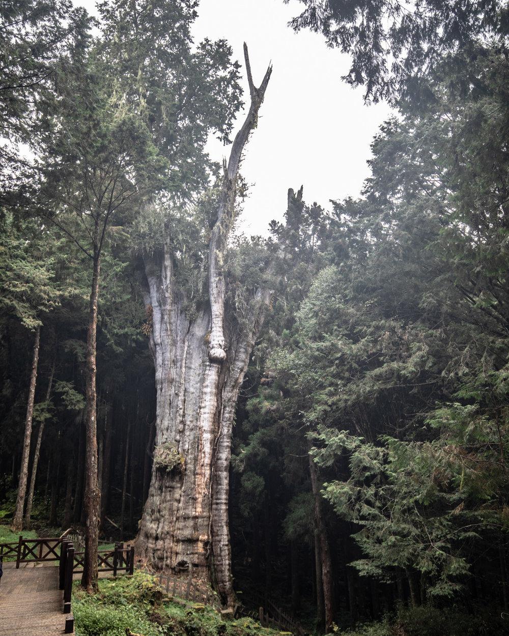 The Shuishan Giant Tree