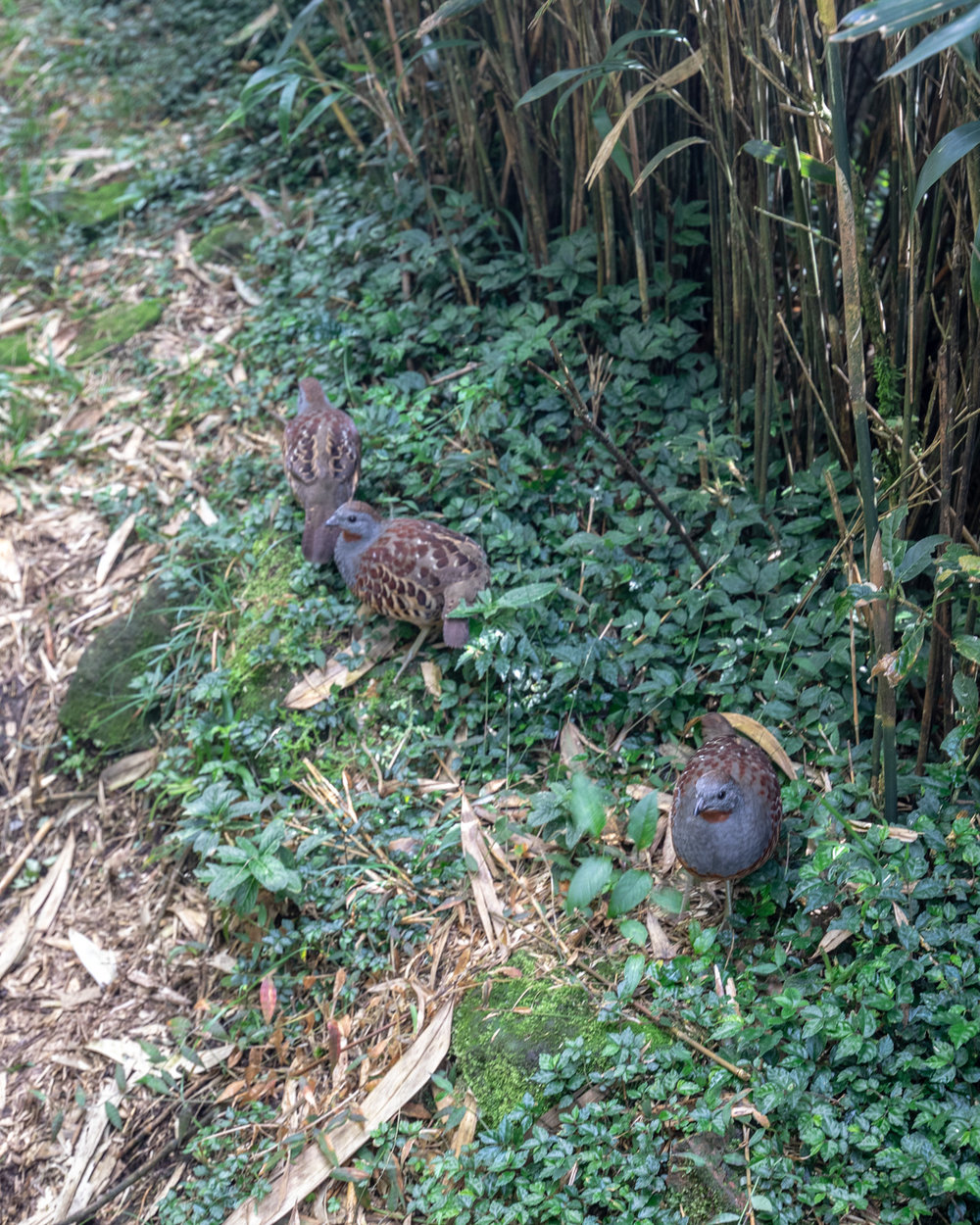 Chinese Bamboo Partridge at Yangmingshan