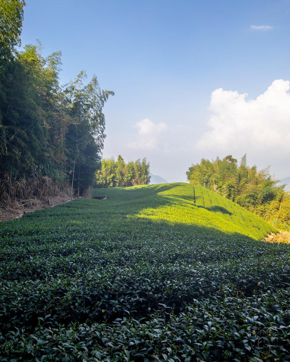 Tea fields near Ruelli