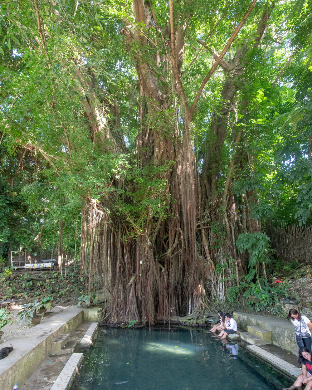 Balate Tree in Siquijor, The Philippines