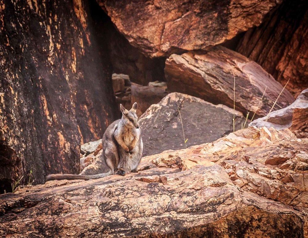 Rock Wallabies at Simpson's Gap - Alice Spring Itinerary