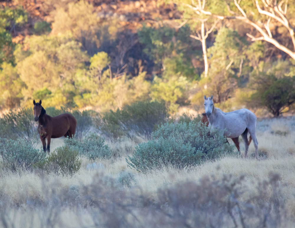 Brumbies on the Mereenie Loop
