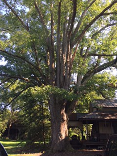 Grandmother Tree NC.jpg