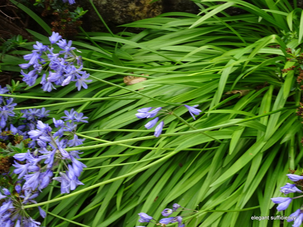 poor agapanthus flowers, beaten to the ground