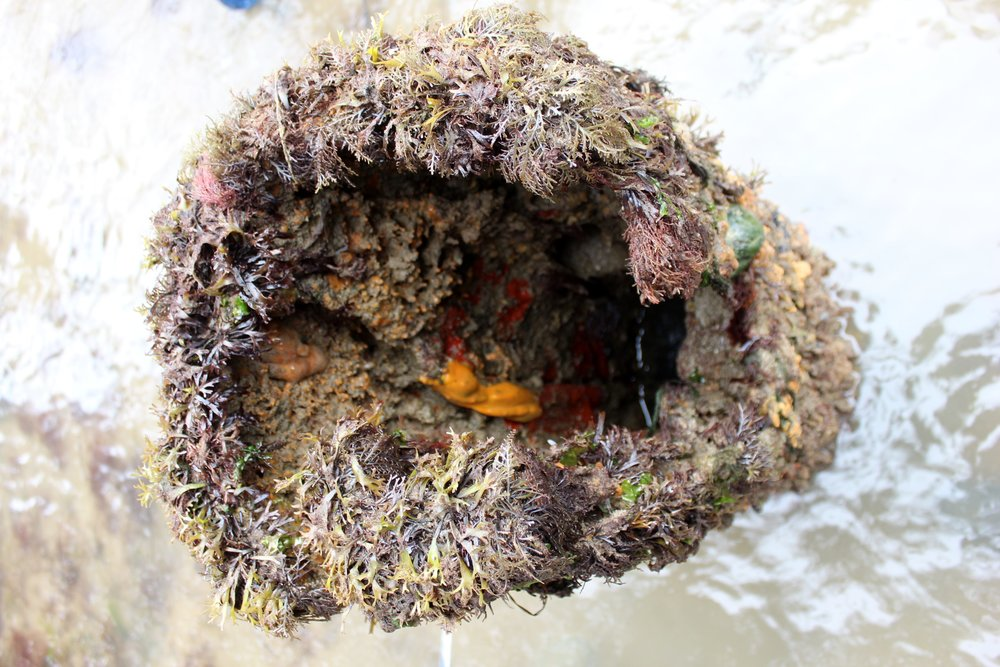 a sponge garden featuring the molten-looking Suberites. These broken pier structs have become superb habitats