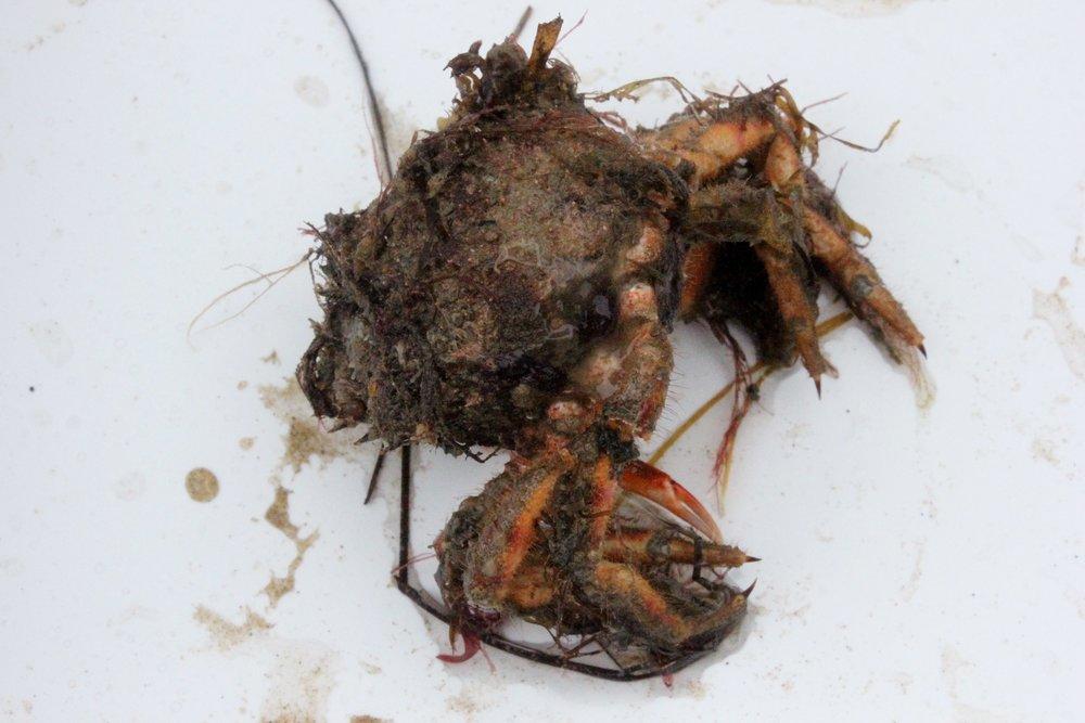 Crab carapace