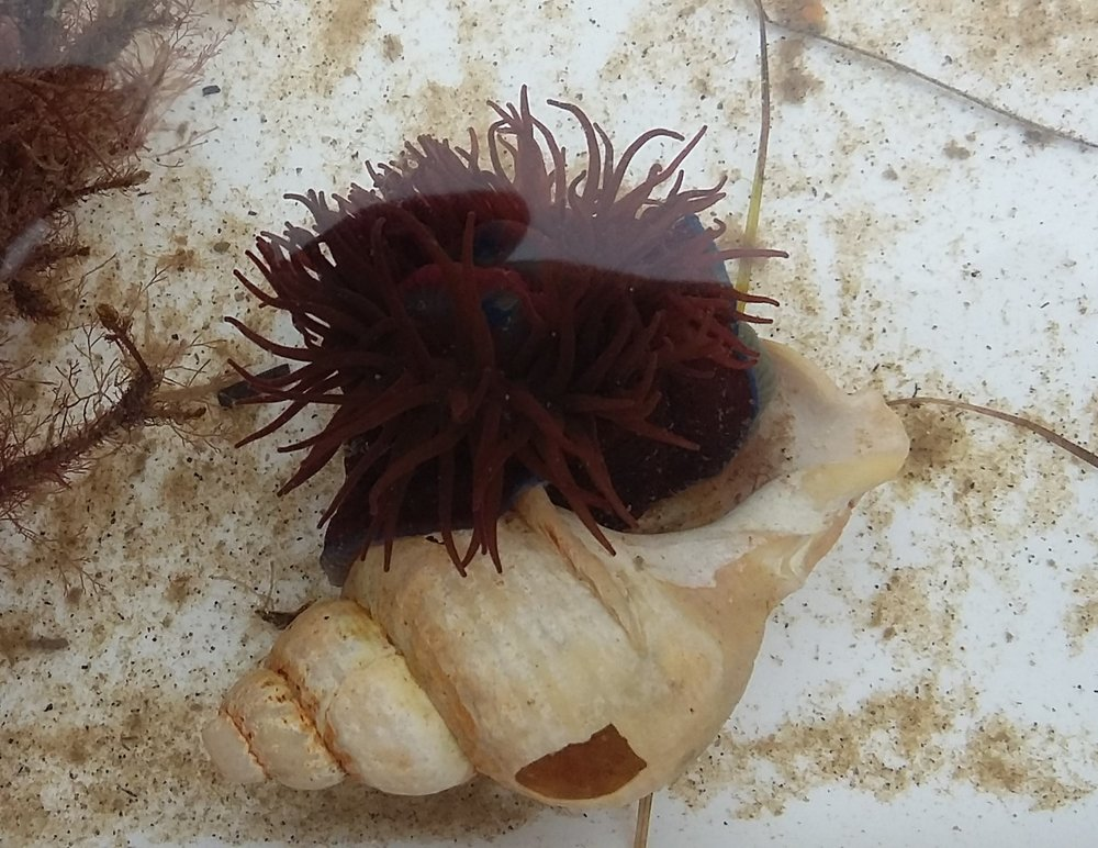 20170903_161527 beadlet anemone in shell crop.jpg