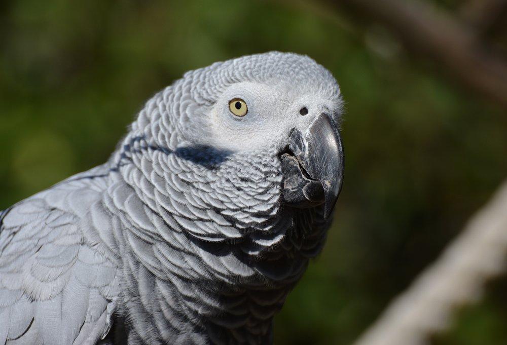 african-grey-parrot-parrot-bird-plumage-162078.jpeg