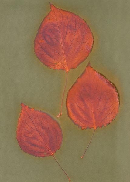 wandaHolmesOliver-apricot.jpg