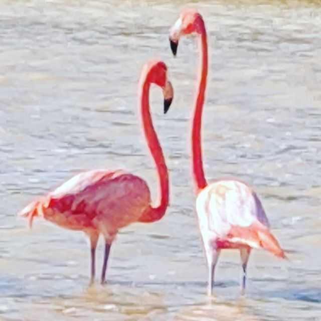 The flamingos of Celestun.  #flamingo #celestun #mexico