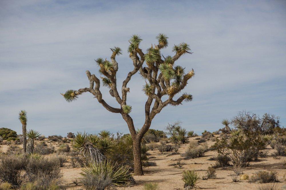 Joshua Tree (32).jpg