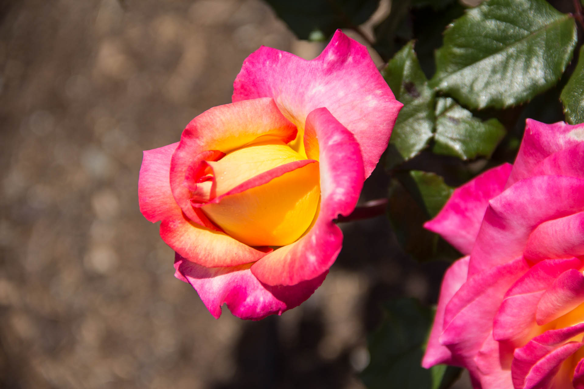 pink and yellow rose bud at parnell rose garden in new zealand