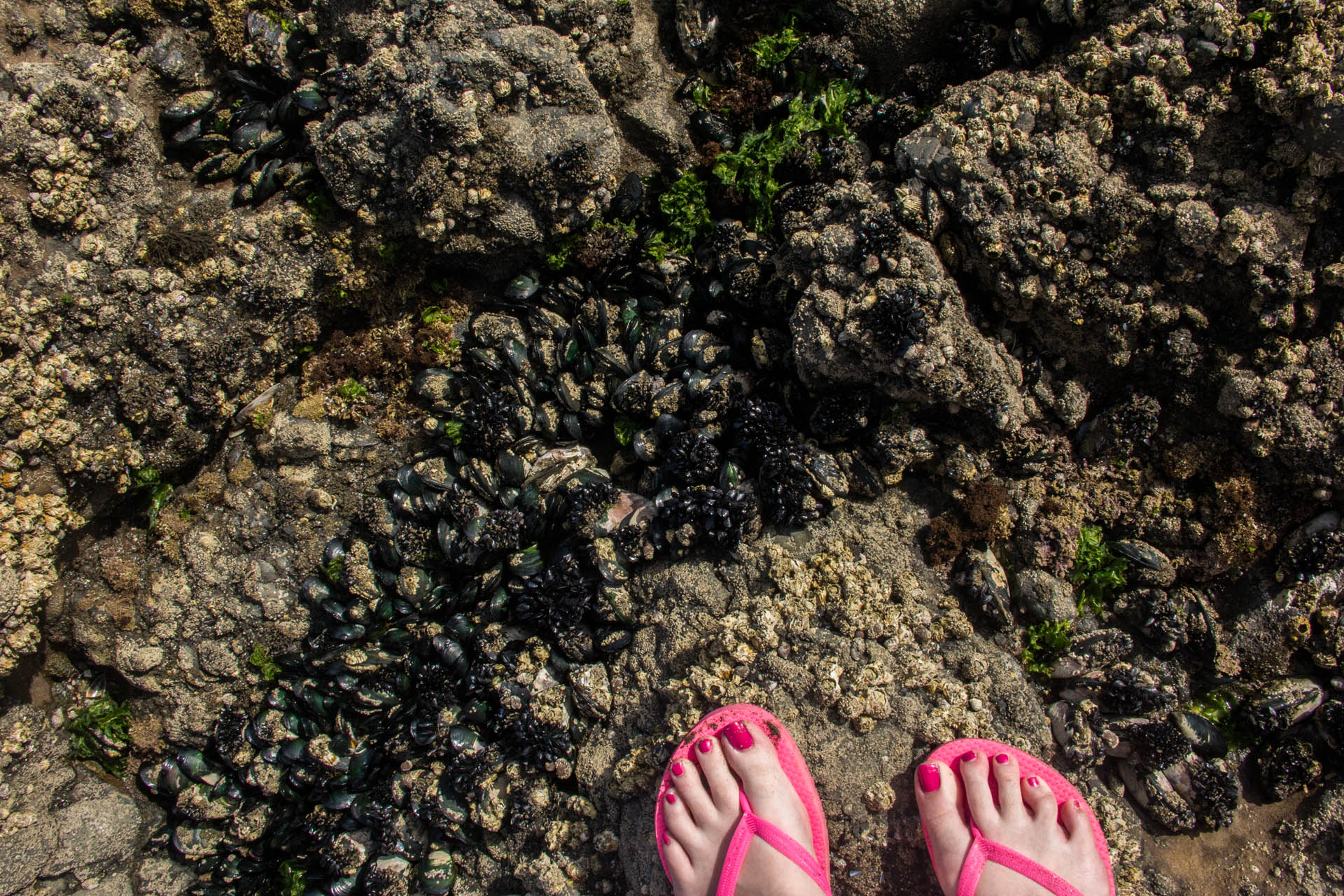 hot pink flip flops explore barnacles and tide pools