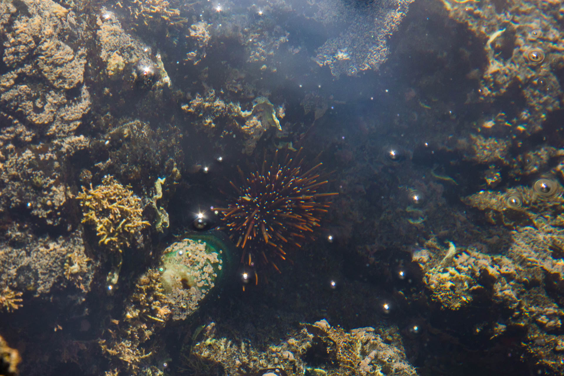 kina sea urchin submerged in new zealand tide pool