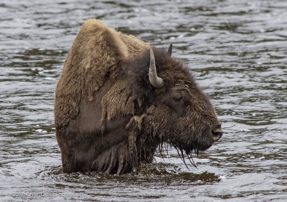 Bathing bison