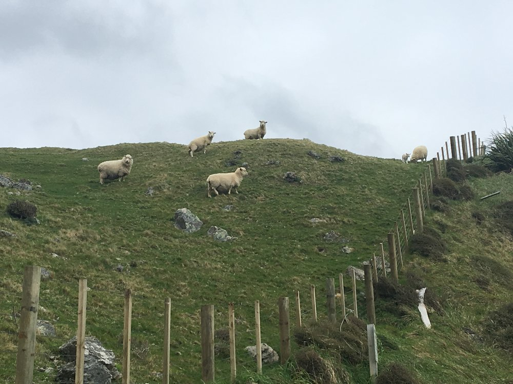 Sheepies!