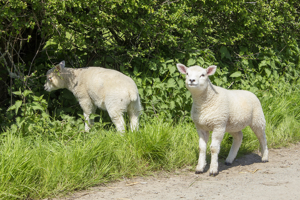 Sheep across from Langley Chapel May 6 2018.jpg