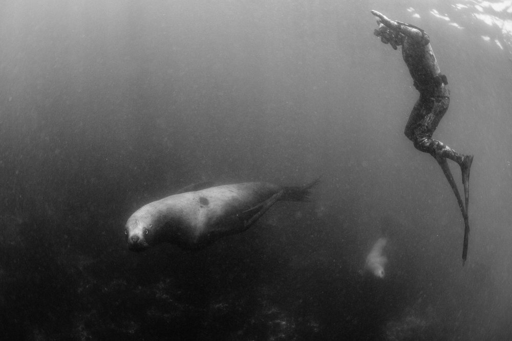 C. Adair, Stellar Sea Lion Dive. Broughton Archipelago.Photo: Jeremy Koreski