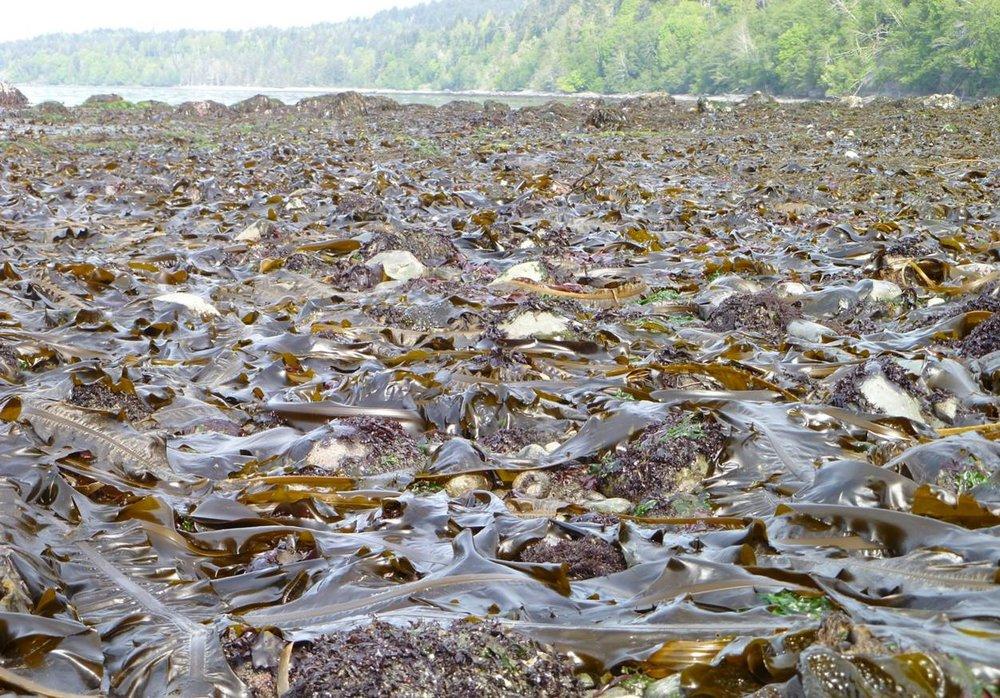 Seaweed Abundance.jpg
