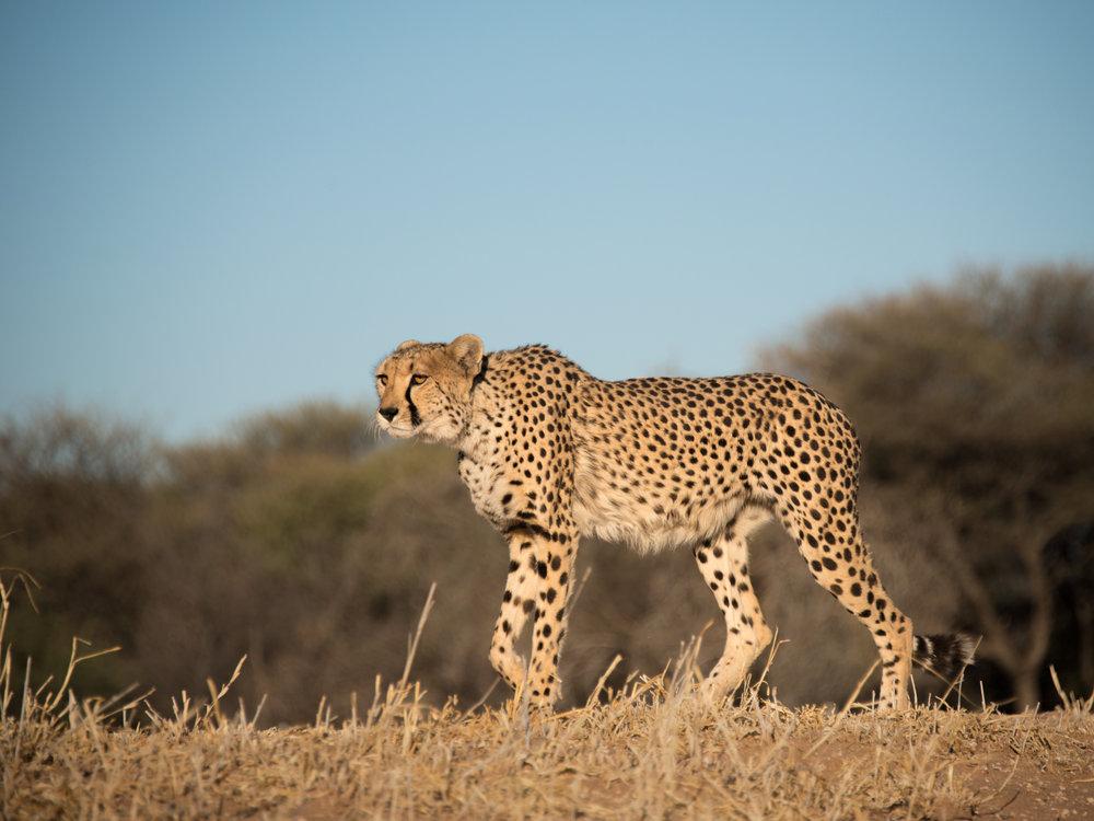 cheetah11.jpg