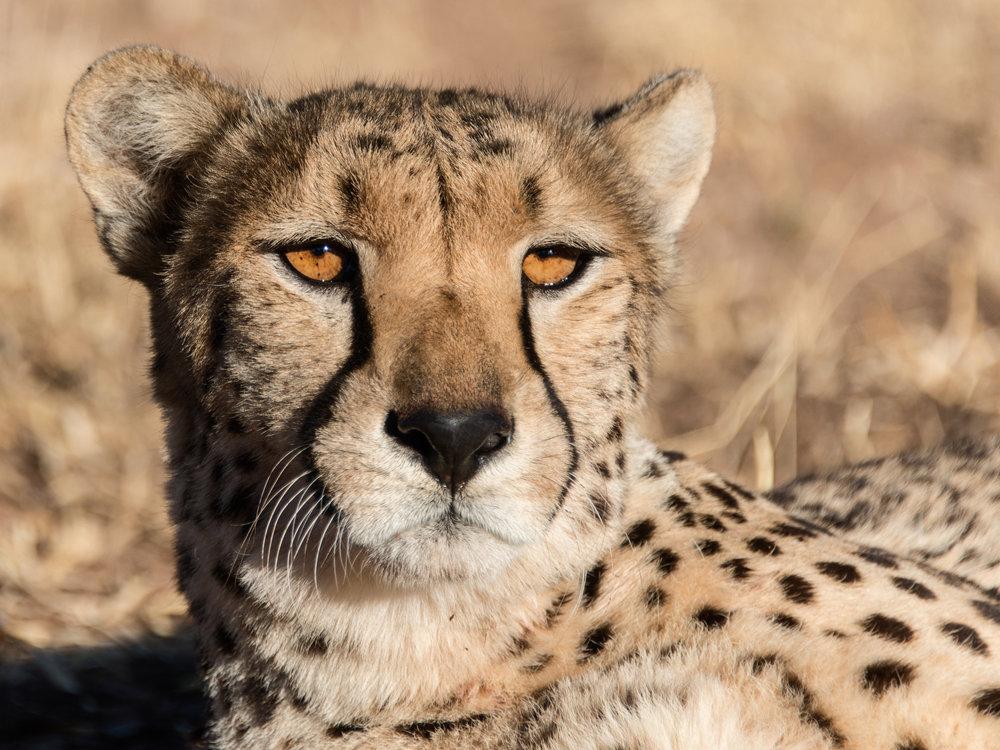 cheetah8.jpg