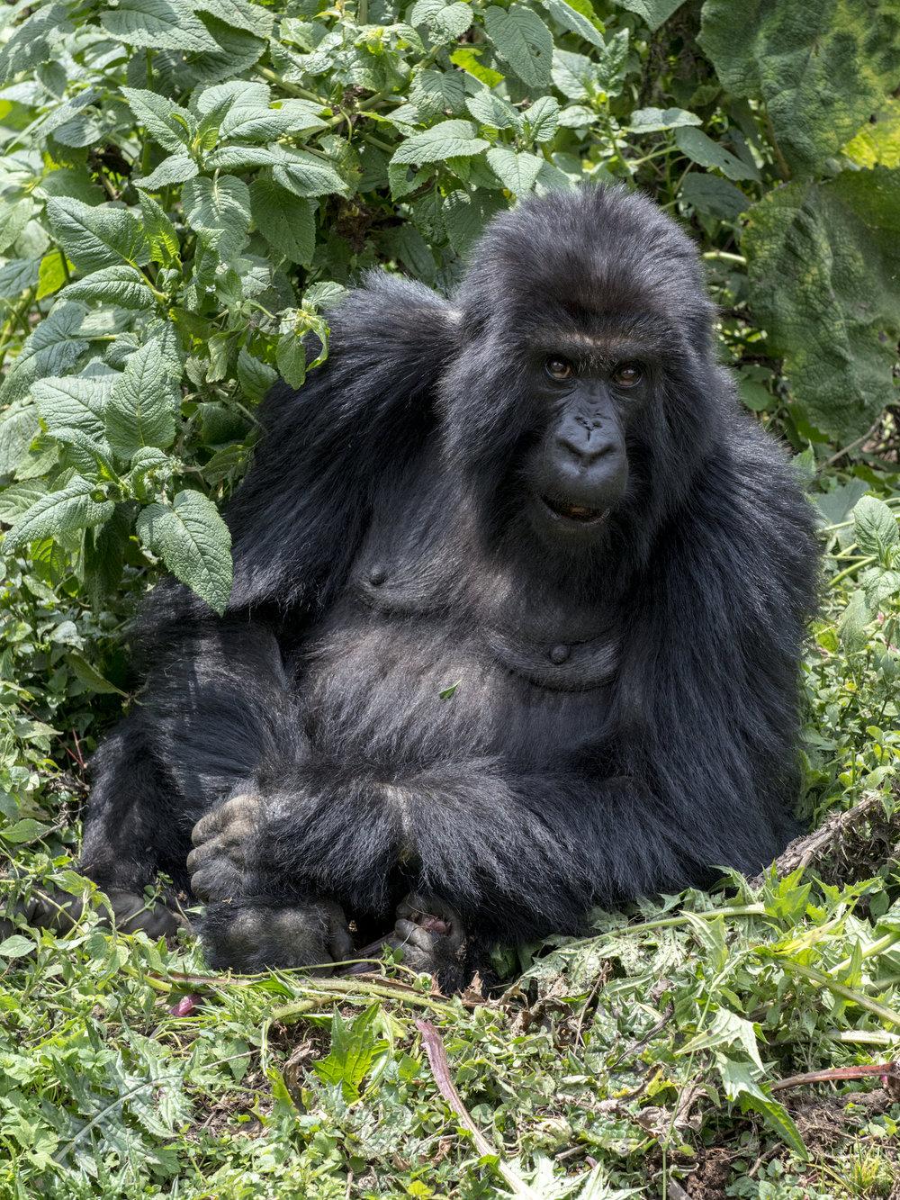 gorilla80.jpg