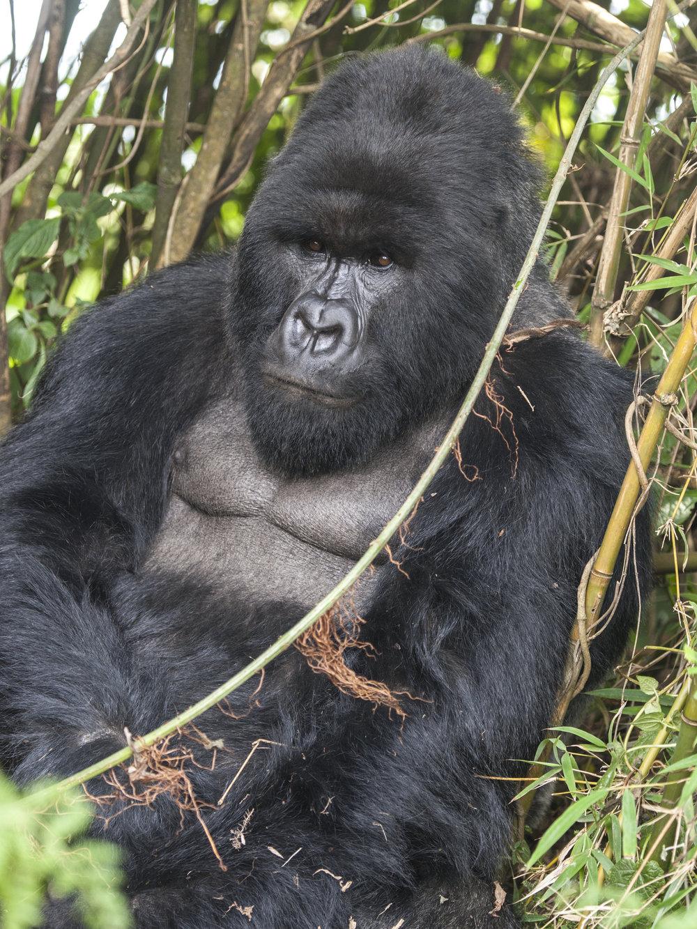 gorilla74.jpg