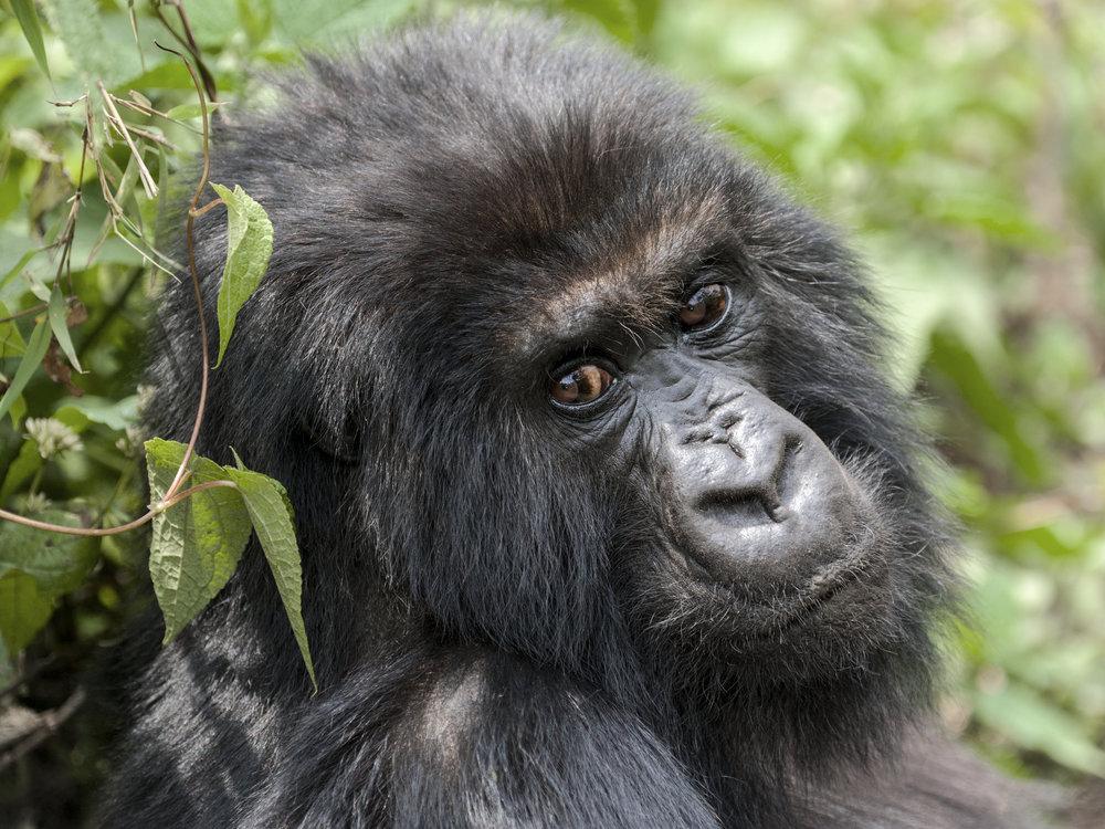 gorilla75.jpg
