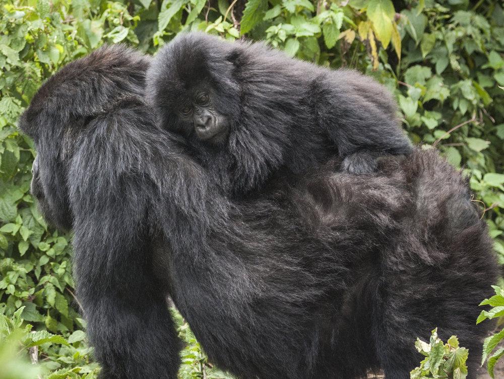gorilla76.jpg