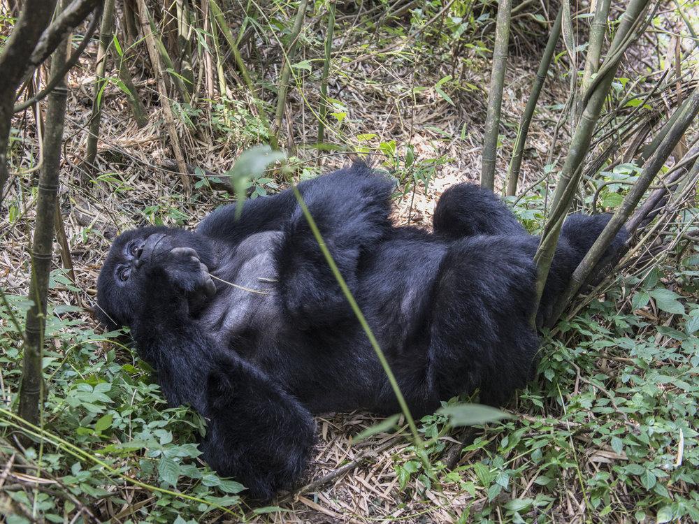 gorilla77.jpg