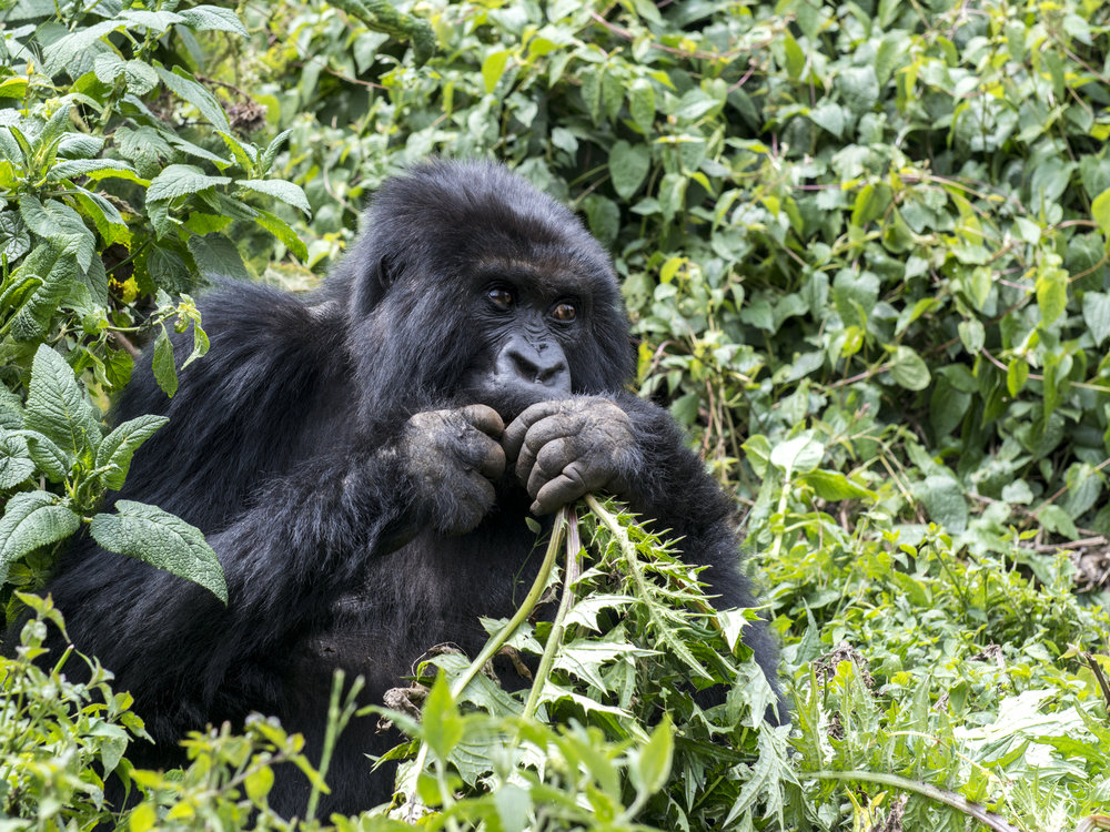 gorilla79.jpg
