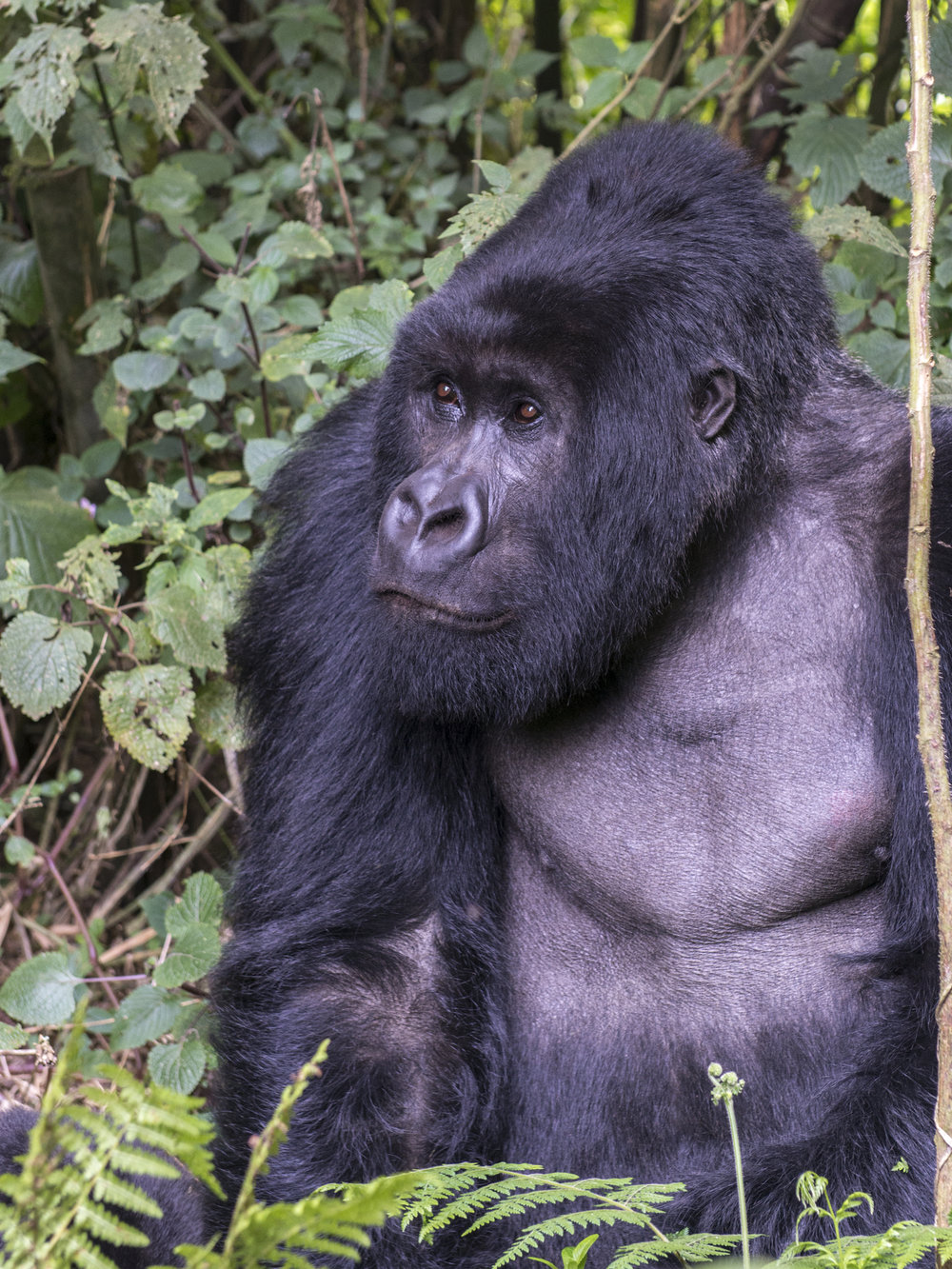 gorilla67.jpg
