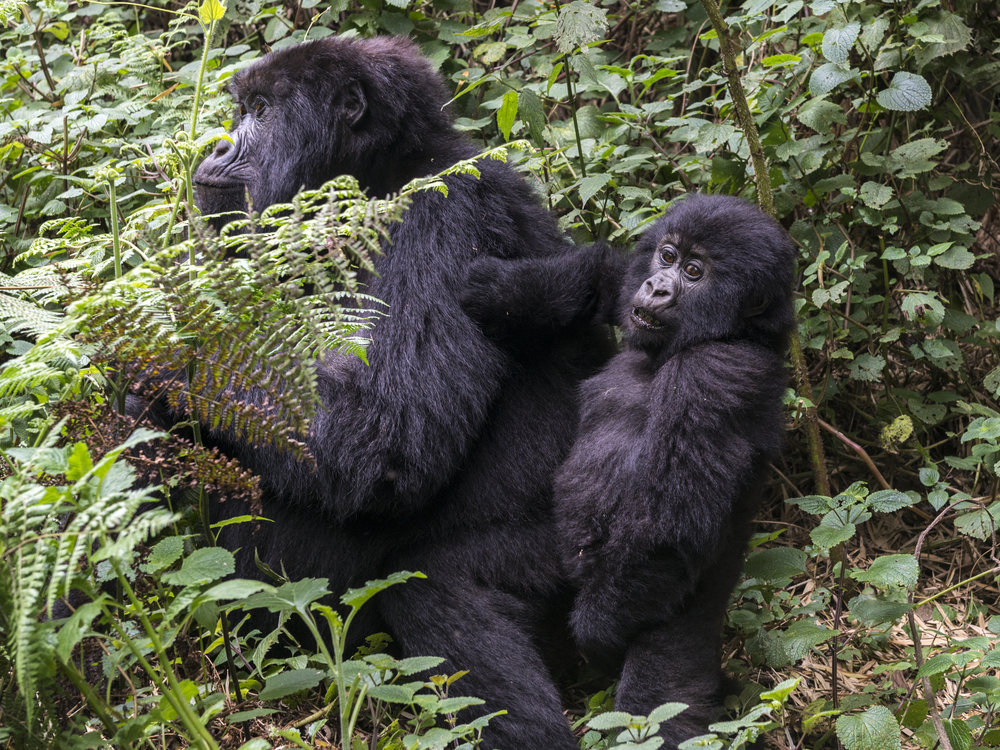 gorilla68.jpg