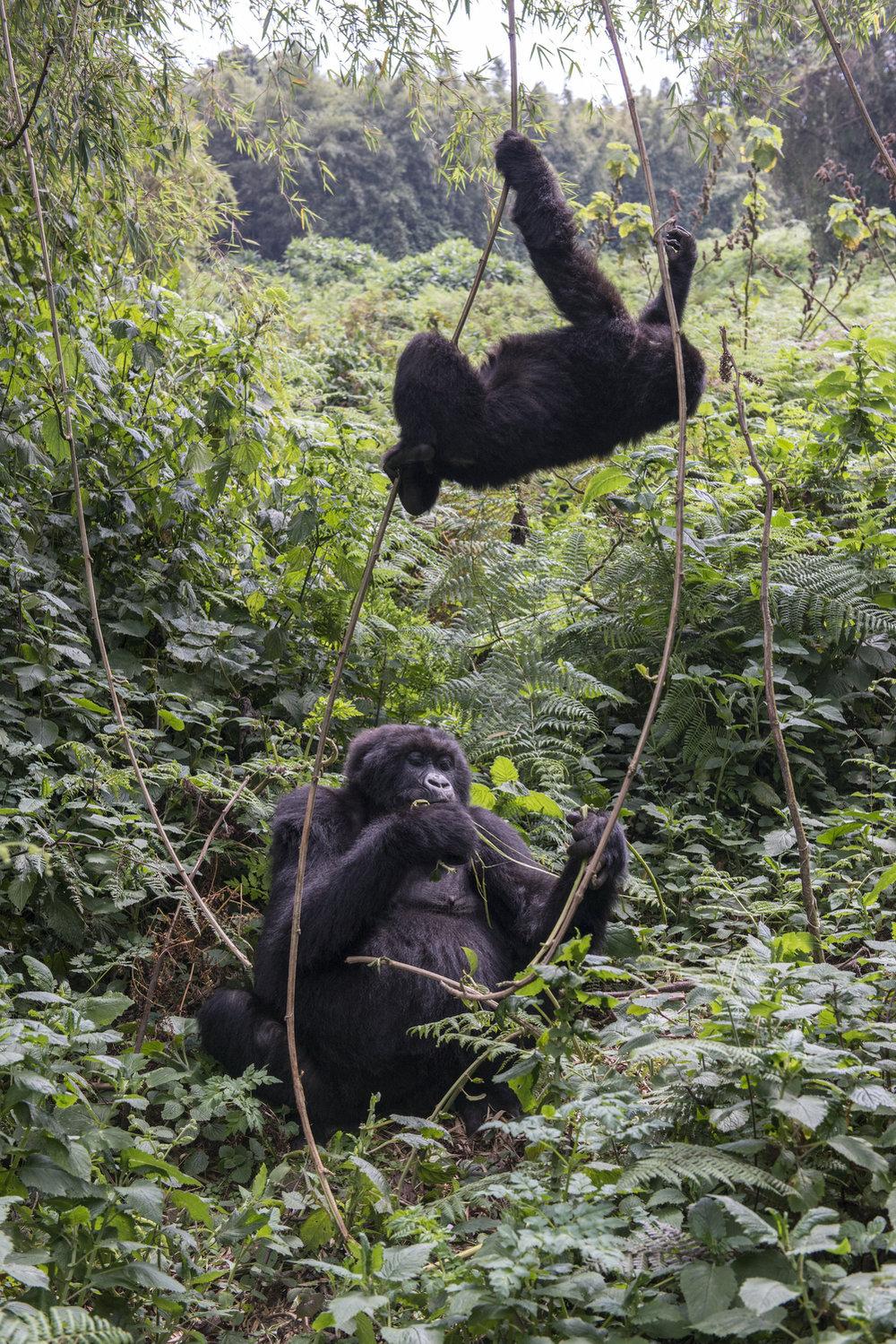 gorilla69.jpg