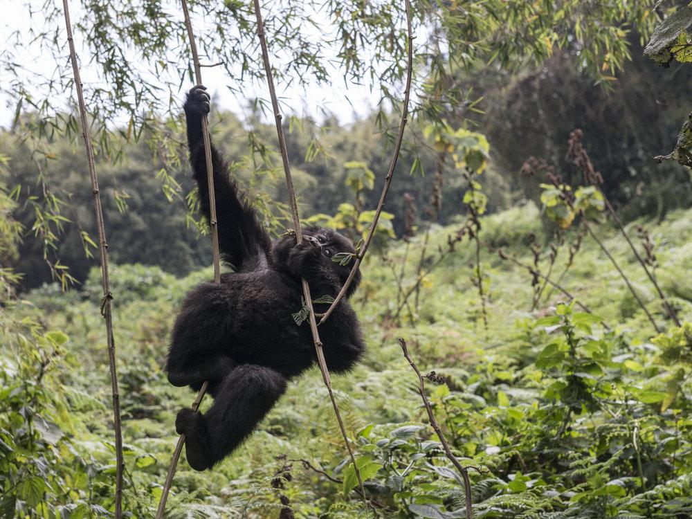 gorilla70.jpg