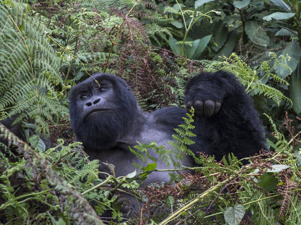gorilla72.jpg
