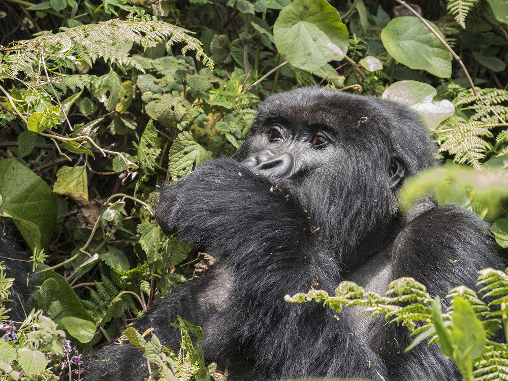 gorilla60.jpg
