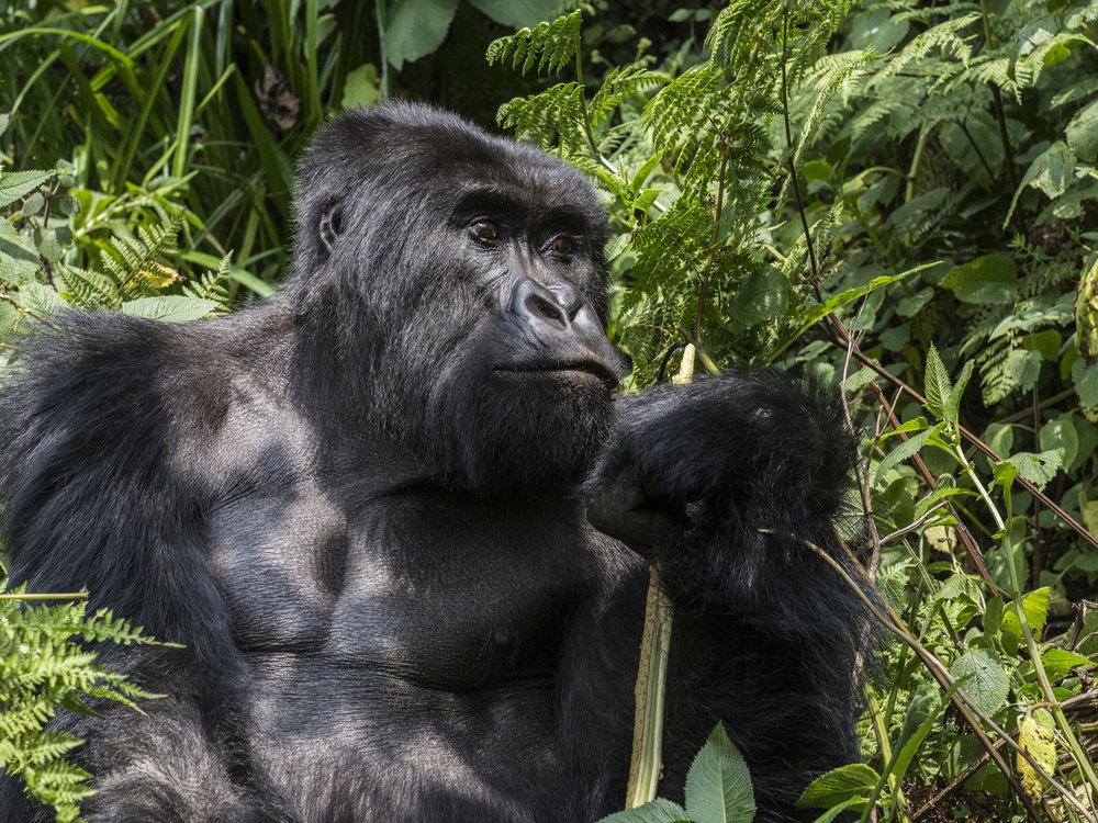 gorilla61.jpg