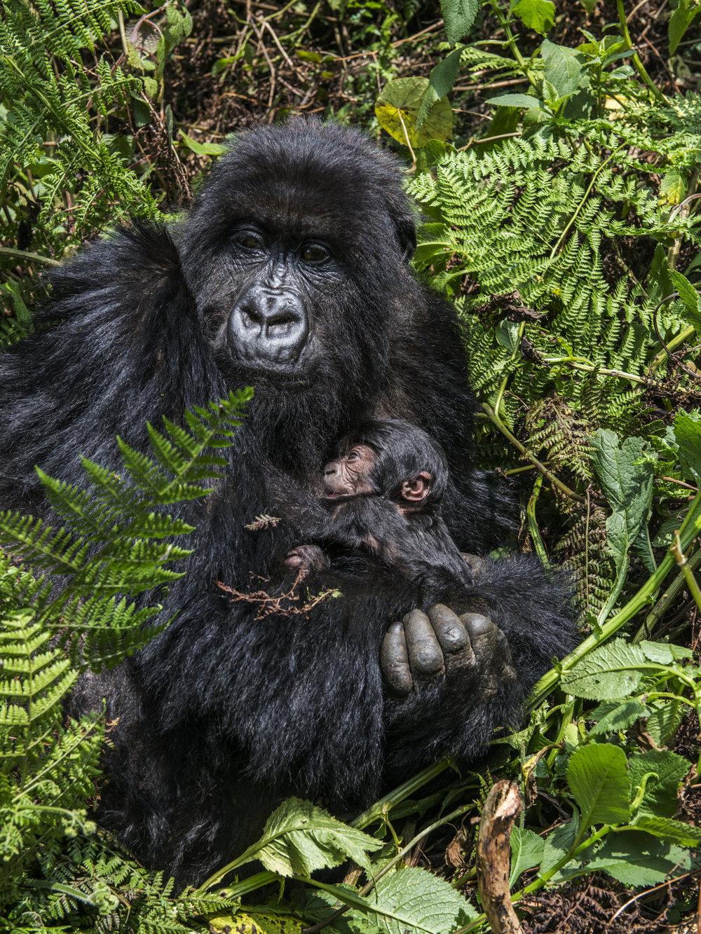 gorilla62.jpg