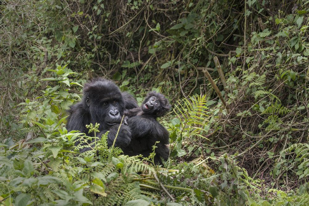 gorilla64.jpg
