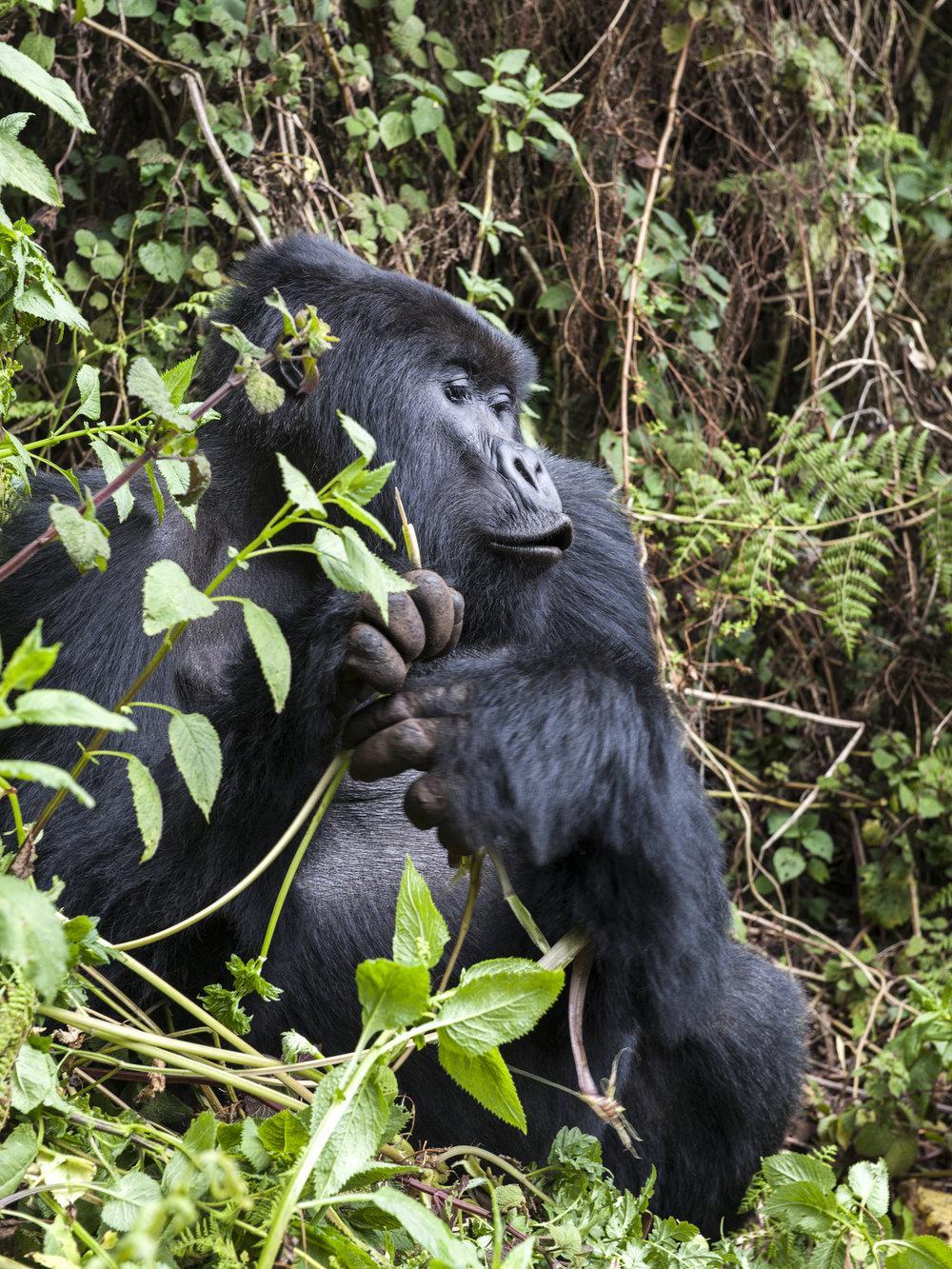 gorilla54.jpg