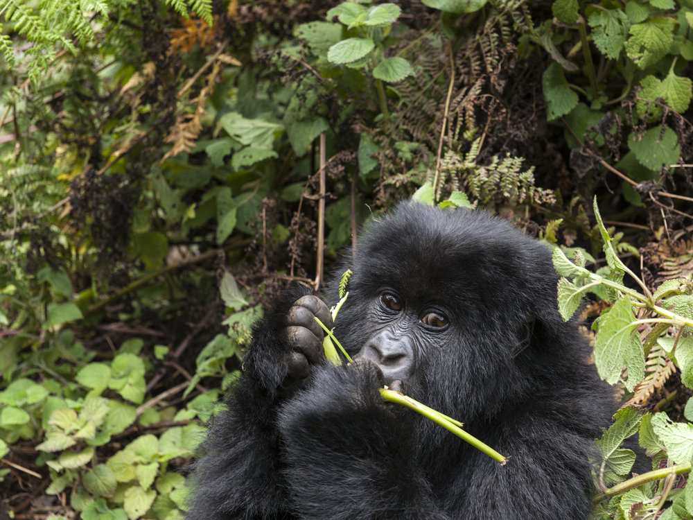 gorilla55.jpg