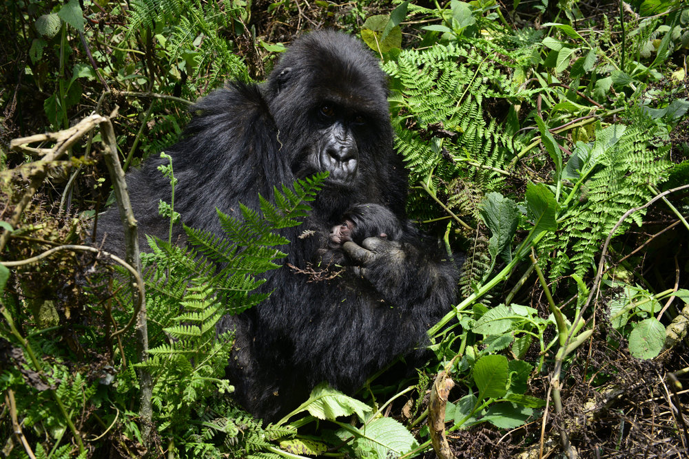 gorilla53.jpg