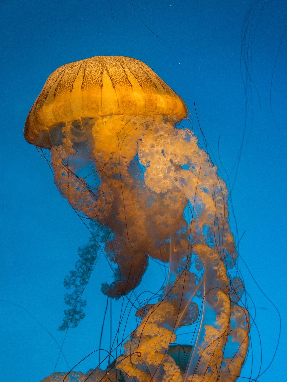 South American Sea Nettle