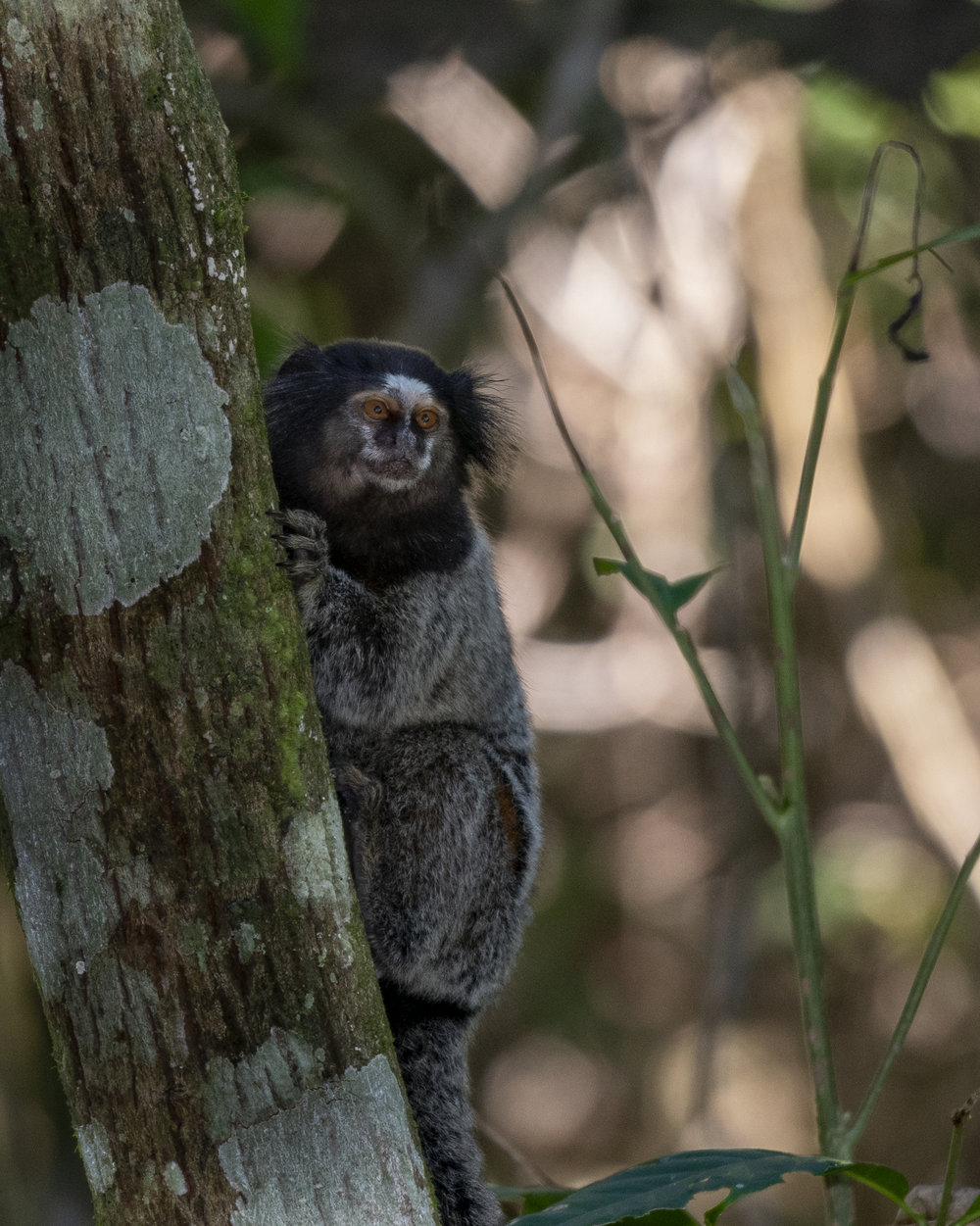 Atlantic - Marmoset2.jpg